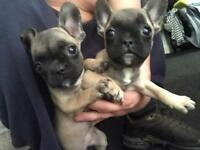 2 French Bulldogs **available now**