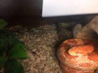 Amel 4ft corn snake