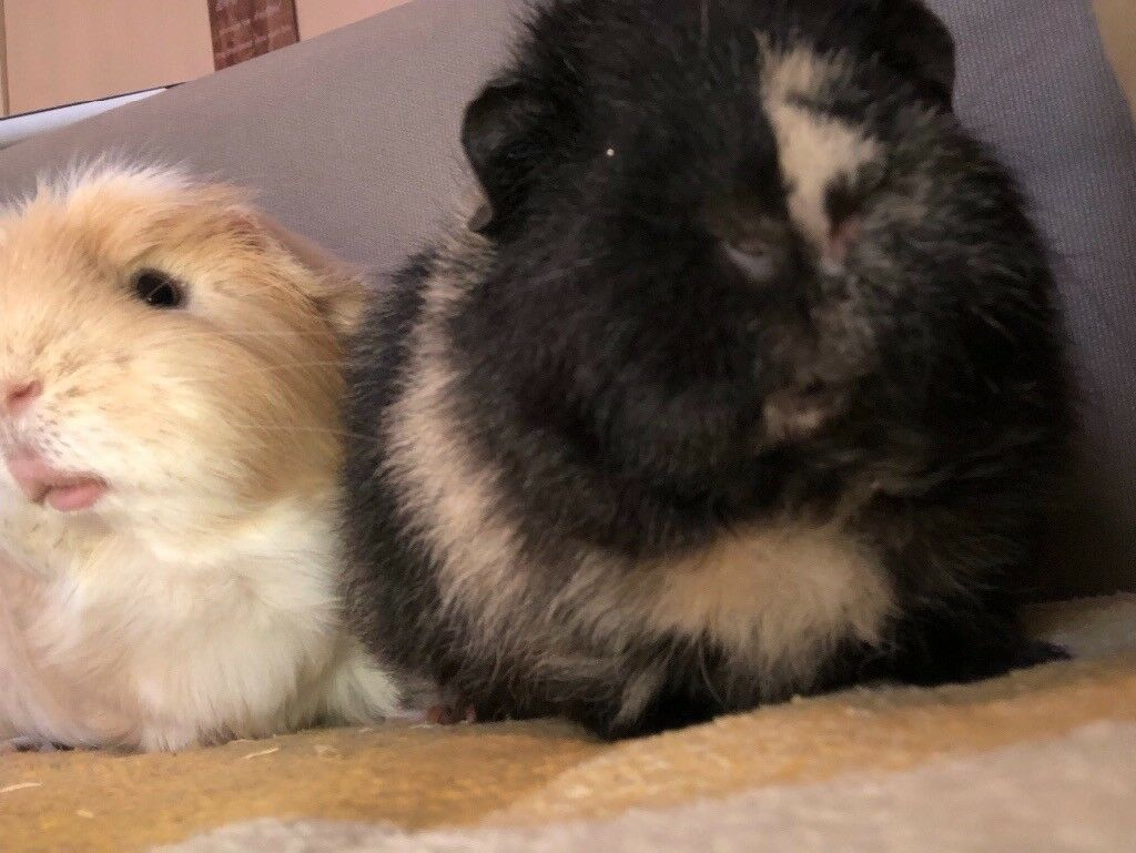 Two male guinea pigs with cage, water bottle, hay and sawdust