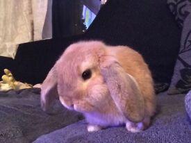 Lily - mini lop rabbit