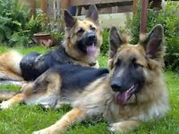german shepherd dogs- two girls 5 years and 7 years old