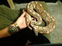 Royal python lesser