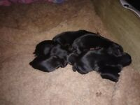 yorkshire terrier pups pedigree 4 girls 2 boys