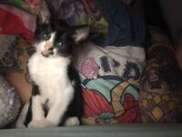 1/2 Siamese kitten