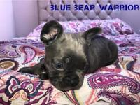 BLUE FRENCH BULLDOG BOY READY NOW BLACK AND TAN GENES BLUE GENES KC REGISTERED