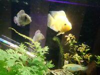 3 parrot fish for sale