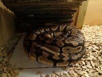 Royal python pastel