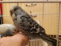 Hand tame budgie £25 each