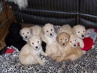 Beautiful Standard Poodle Puppies