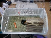 2 Male Guinea Pigs with Cage, Water bottle and food tray and more included. See the description.