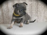 Blue KC Registered Pedigree Chihuahua boy puppy READY NOW