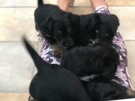Beautiful Jackapoo Puppies