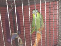 AMAZON GREEN PARROT FOR SALE WITH CAGE + ACCESSORIES