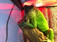 Green Iguana + Vivarium/Terrarium + full set up.