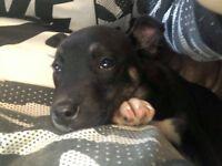 Husky x staff pup