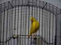FIFE FANCY CANARIES FOR SALE