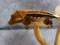Crested gecko with complete set up