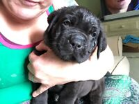 Mastiff X Dogs Puppies For Sale Gumtree