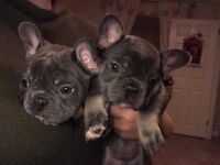 Quality Blue and Tan French Bulldogs