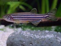 15x Zebra Danio Aquarium Fish