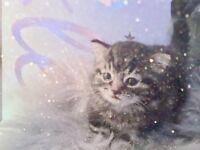Super Stunning Siberian Kittens For Sale in London