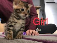 Full Bengal Kittens for
