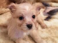 Yorkie x Pomeranian Puppy Girl
