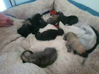 Beddlington x whippets puppies
