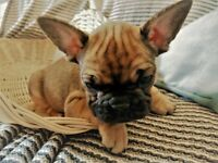 5 Generation Pedigree French Bulldog Puppies for Sale - Ready Now :)