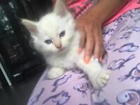 Ragdoll kitten last one £475