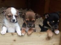 Tiny Chihuahua cross Jack Russel puppy pups