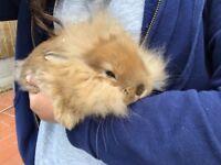 Mini Lion Lop baby rabbits