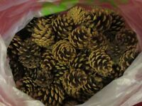 Pine Cones (approx 80)