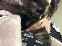 Adorable black and ginger kitten, £40