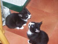 for sale kittens cats WE HAVE TWO LOVERLY BOYS BLACK AND WHITE KITTENS £35 EACH