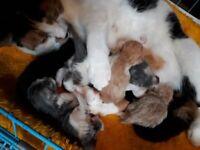 1/4 PERSIAN KITTENS BEAUTIFUL COLOURS