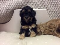 Cavapoo Puppies. Two girls and two boys. Ready 3 March.