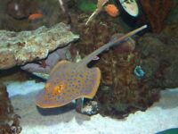 ******MARINE FISH****** Blue Spotted Stingray 5-7 inch size £125 !