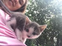 beautiful kittens for sale, 2 black and white 2 grey and white