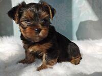 Yorkshire Terrier Puppi for sale