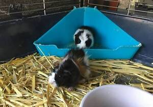 Guinea Pigs Happy Valley Morphett Vale Area Preview