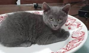 Russian Blue x Ragdoll kittens Male & Female 9 weeks old