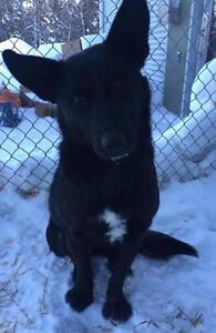 """Adult Female Dog - Labrador Retriever-Husky: """"Cindy"""""""