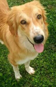 Male Dog - Golden Retriever-Nova Scotia Duck Tolling Retriever