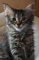 "Young Female Cat - Domestic Medium Hair: ""Kenya"""
