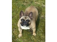 French bulldog bitch for sale