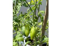 Many tomato plants for sale!
