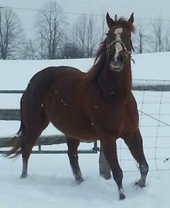 15 year old AQHA mare ROM earner in foal for April 2019