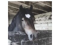 14.2hh Welsh D gelding for full loan as companion/project.