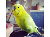 Missing / lost budgie in Poole
